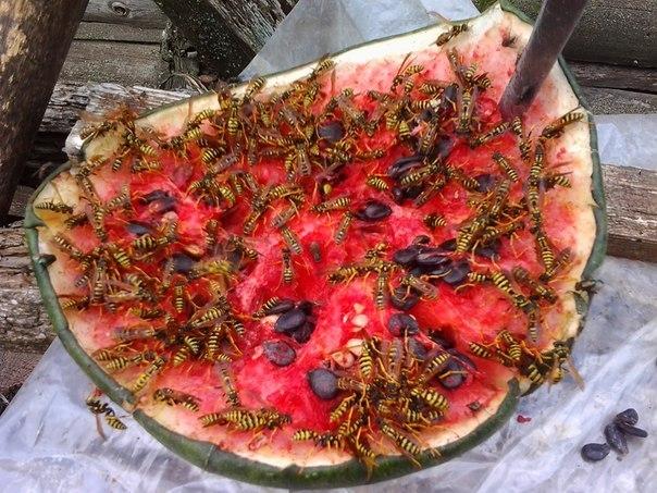 hvad spiser hvepse