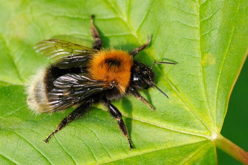 humlebier i danmark