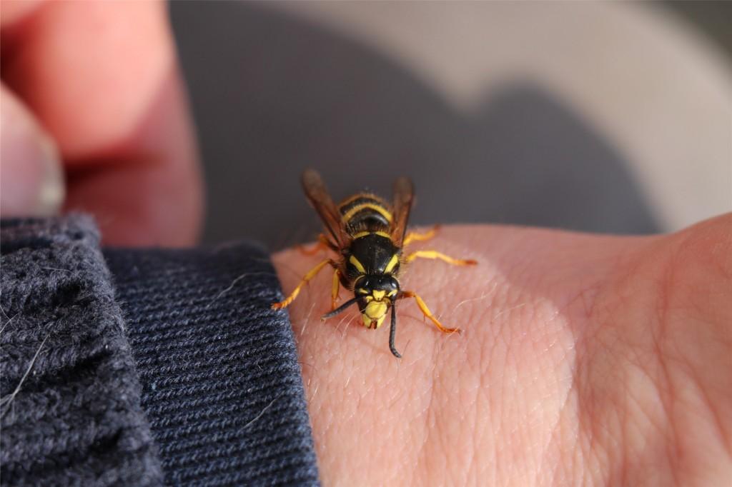 hvepsedronning_i_april